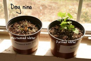 Слева: обработанная микроволнами вода; справа - очищенная вода