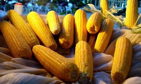 ГМО-кукуруза