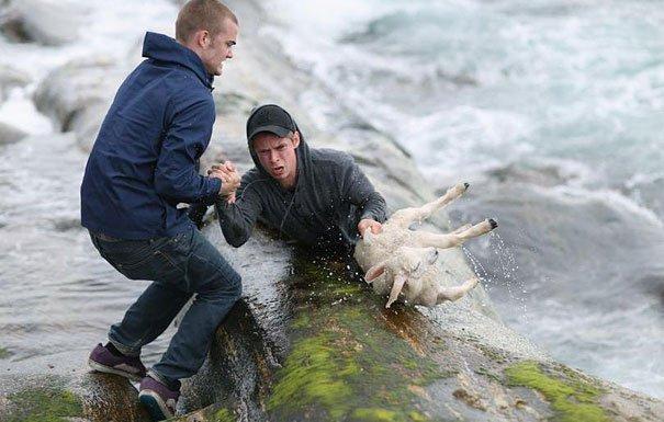 Норвежцы рисковали жизнью, чтобы спасти упавшего в воду ягненка
