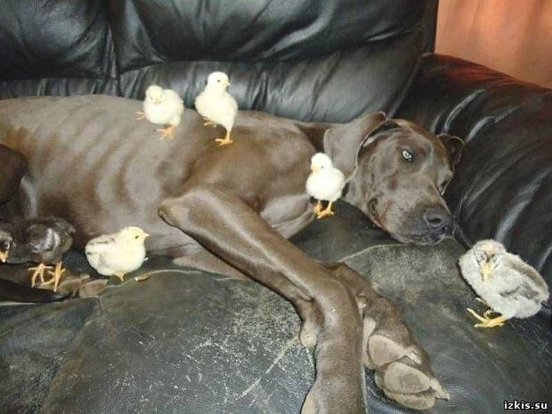 А в Канаде дог взял на себя заботу о цыплятах.