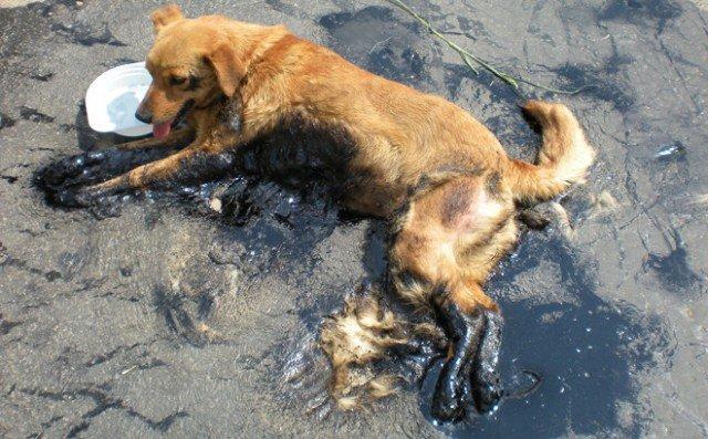 Из-за сильной жары, в Пётркув-Трыбунальский (Польша) начал плавиться асфальт, и собакен угодила в эту ловушку на дороге. Откуда была благополучно спасена, благодаря местным жителям и пожарным.