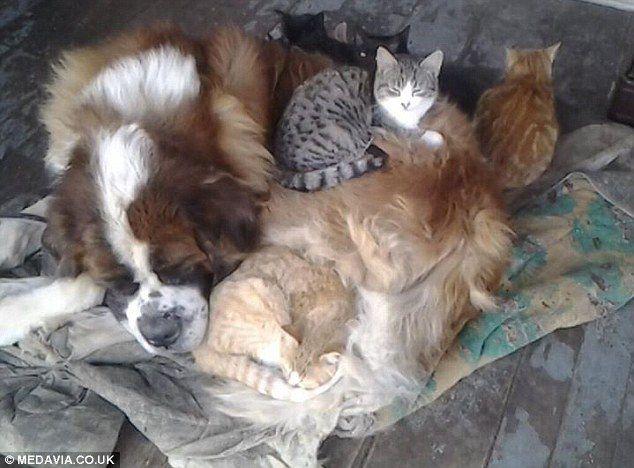 Это сенбернар наверное самый добрый пёс по отношению к котам.Зовут его Киган,по словам хозяина, как то пёс лежал на крыльце дома,было очень холодно,вдруг появился бездомный кот.