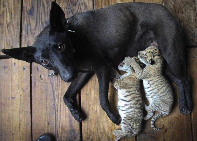 Животное иногда становятся приемными родителями или опекунами для молодых представителей других биологических видов. Так, например, в 2011 году в Китае собака выкормила брошенных матерью лигрят (помесь тигра и льва).