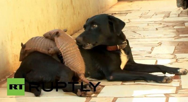 Как рассказала жена хозяина собаки, Дина Алвес, ее супруг нашел броненосцев на плантации сахарного тростника. Там их мать сбил трактор, и она погибла, оставив выводок сиротами. Мужчине стало жалко броненосцев, и он взял их домой, где стал кормить коровьим молоком. Однако малышами заинтересовалась домашняя собака семьи, которая, не имея материнского опыта, начала продуцировать собственное молоко и выкармливать детенышей.