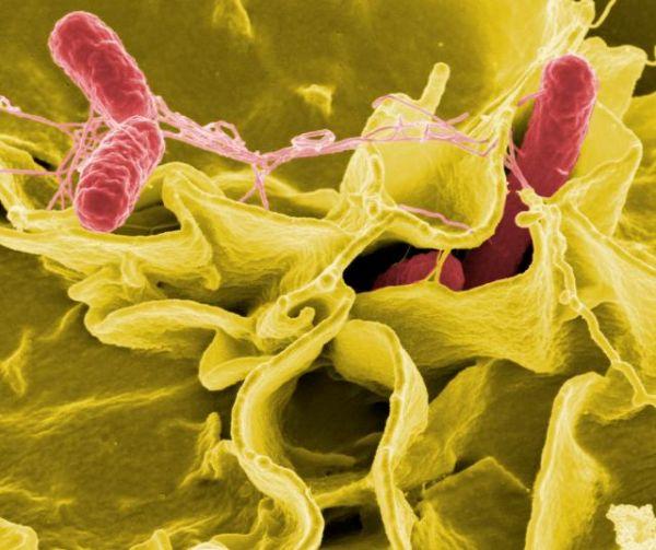 Бактерия сальмонелла. Как правило, обитает в кишечнике животных и человека.