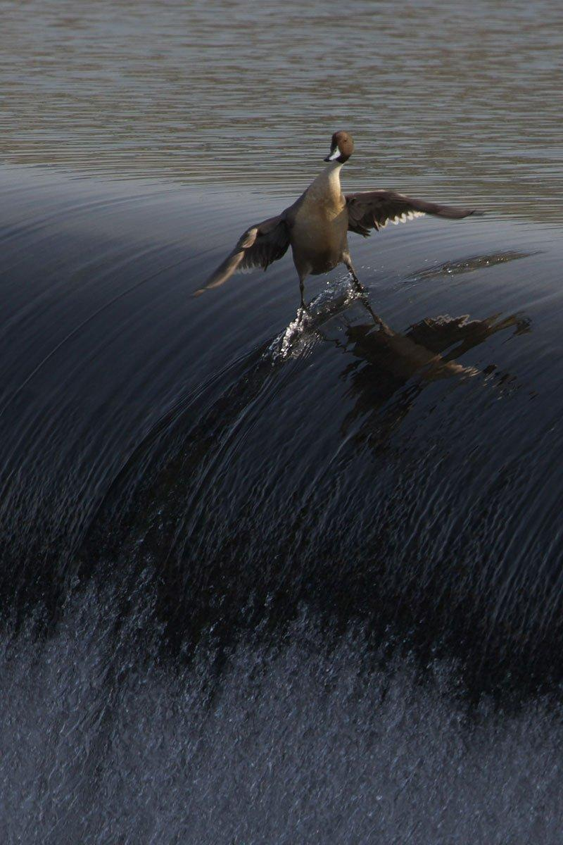 surding-duck