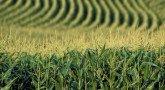 nr_corn_field-pic510-510x340-88998