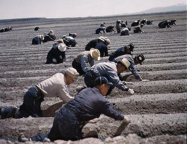 """Принудительные работы в лагерях (цветное фото, сделанное администрацией лагеря """"Tule Lake"""")"""