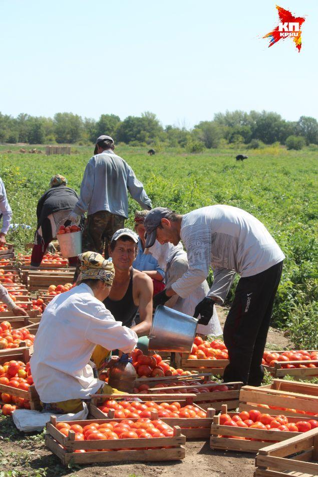 - Мы выращиваем овощи, у нас нет ни времени, ни возможности искать рынки сбыта. Поэтому очень сильно зависим от перекупщика. Фото: Екатерина МАЛИНИНА