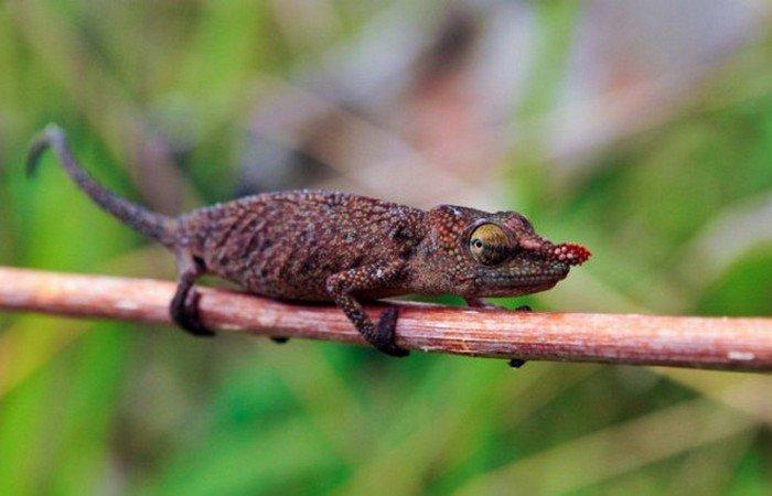 Chameleon - Rare Madagascar Endemic Reptile