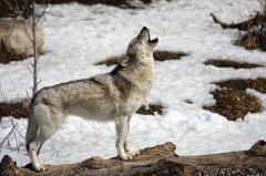 По поведению волков в этот день судили о будущем (Фото: mlorenz, Shutterstock)