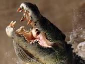 крокодилов становится больше