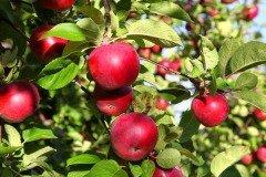 Интересно, что рассказ о падающем с дерева яблоке, которое навело Ньютона на размышления о свободном падении тел, считается правдивым (Фото: V. J. Matthew, Shutterstock)