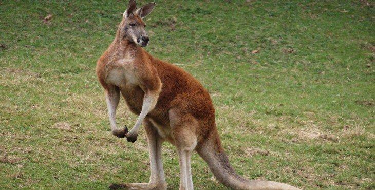 кенгуру-бомба