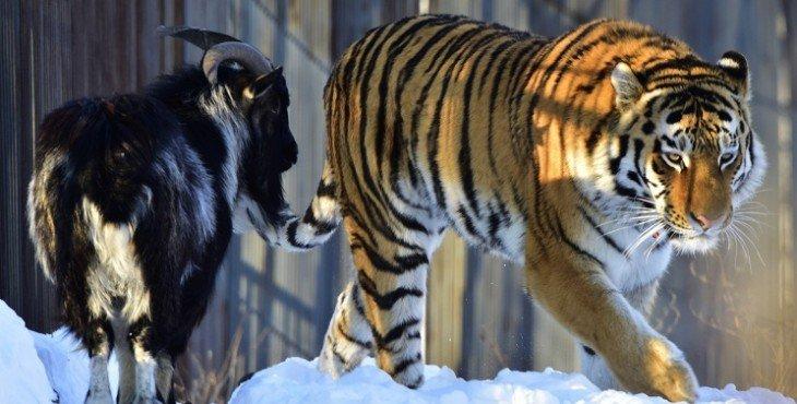 животных разделят из-за тигрицы
