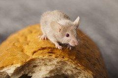 На Трифона крестьяне заклинали мышей, просили их не портить скирды с хлебом (Фото: Sebastian Duda, Shutterstock)