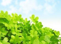 Клевер - символ Ирландии и удачи (Фото: Anna Omelchenko, Shutterstock)