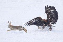 При хорошей капели можно было собираться в лес охотиться на зайцев (Фото: Alexandr Kolupayev, Shutterstock)
