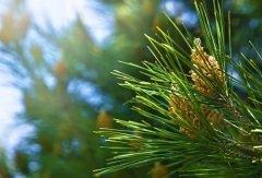 На Василия было принято приносить в дом сосновую ветку (Фото: Nature Art, Shutterstock)