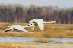 У гусятников с этого дня начинались разговоры о гусиной охоте (Фото: TTphoto, Shutterstock)