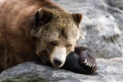 На Руси существует множество легенд о превращении медведя в человека (Фото: Raj Krish, Shutterstock)