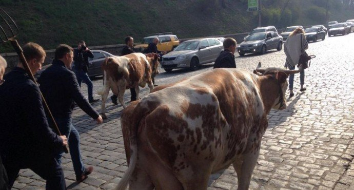 коровы в Киеве
