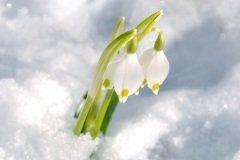 Подснежник — символ надежды (Фото: Khomulo Anna, Shutterstock)