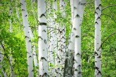Сегодня нужно выходить в березовую рощу — слушать деревья (Фото: Yarygin, Shutterstock)