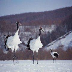 Настоящую весну приносит на крыльях журавль (Фото: JinYoung Lee, Shutterstock)