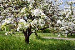 Яблоня — символ девичьей красоты и невинности (Фото: leonid_tit, Shutterstock)