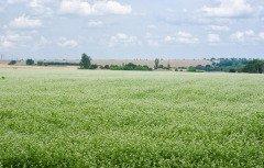 В народе подмечали, что к Митрофану лен начинает расти в полную силу (Фото: Yuri Kravchenko, Shutterstock)