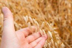 На Фита особенно рьяно идет в рост овес (Фото: E.O., Shutterstock)
