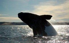 Охота на больших китов, а также торговля китовым мясом запрещены (Фото: rm, Shutterstock)