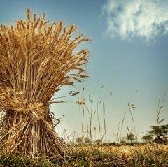 21 июля по народному календарю - день Прокопия Жатвенника, зажинки (Фото: Sundari, Shutterstock)