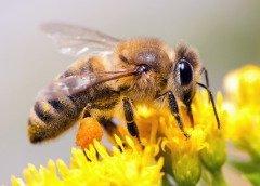 Пчел на Руси почитали всегда (Фото: Sergey Lavrentev, Shutterstock)