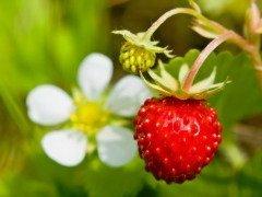 Землянику любили не только за сладкий вкус и прекрасный аромат, но и за целебные свойства (Фото: Petr Jilek, Shutterstock)