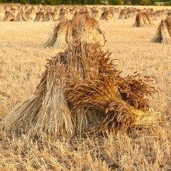 На Авдотью начиналась жатва (Фото: Gordon Bell, Shutterstock)