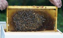 Чтобы собрать 1 кг меда, пчелке нужно сделать 50 тысяч вылетов (Фото: kabby, Shutterstock)