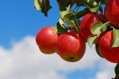 К этому времени в садах массово созревали яблоки (Фото: fotohunter, Shutterstock)