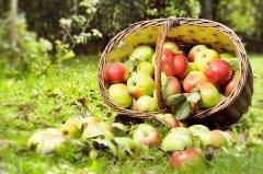 Начинался ранний сбор яблок (Фото: ER_09, Shutterstock)