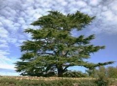 Национальный символ Ливана (Фото: Sybille Yates, Shutterstock)