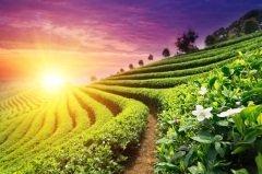 Чайные плантации в Китае (Фото: zhu difeng, Shutterstock)