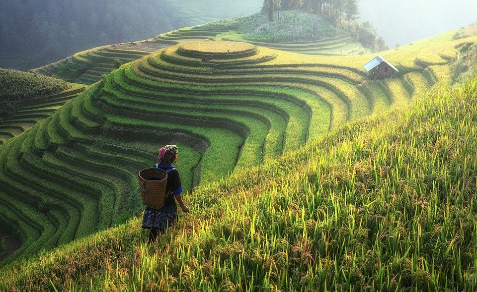 Рис, Китай. Фото Pixabay