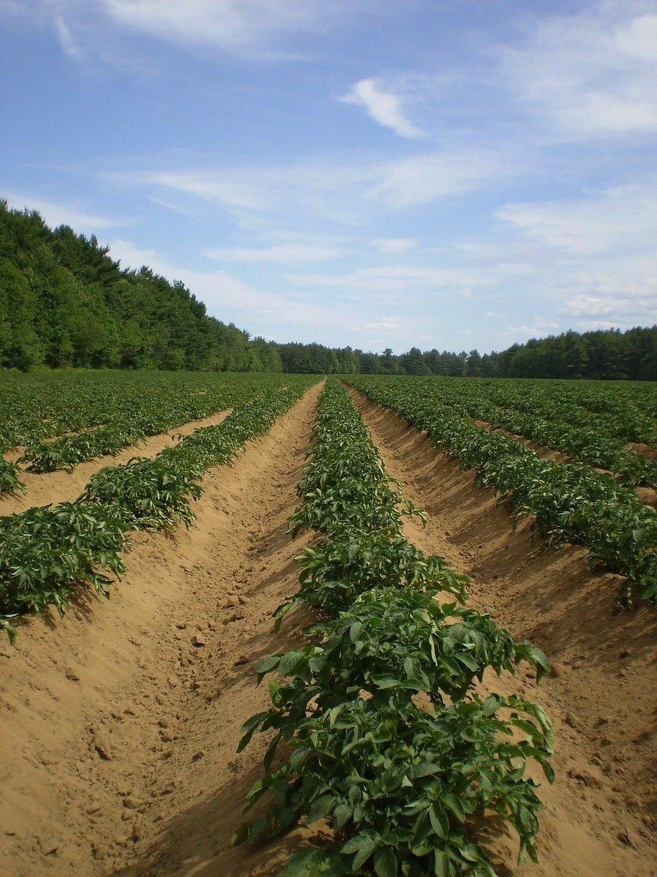 Проращивание картофеля перед посадкой: сроки, условия, способы и эффект от проращивания