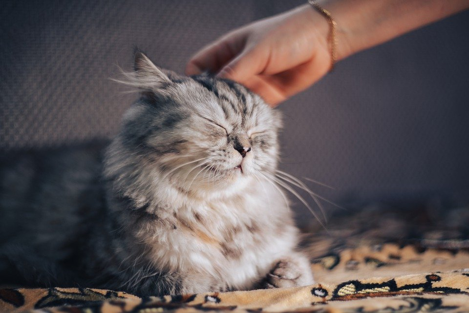 Почему кошки топчут людей лапками — тайна раскрыта
