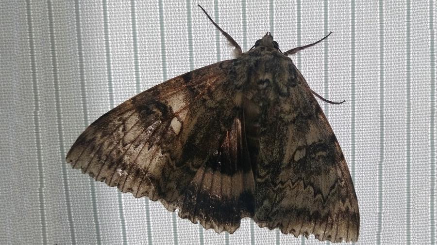 В Чернобыле обнаружили редкую бабочку размером с птицу