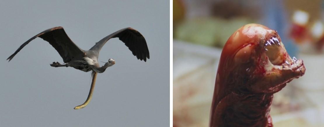Цапля и «ксеноморф» — удивительная природа